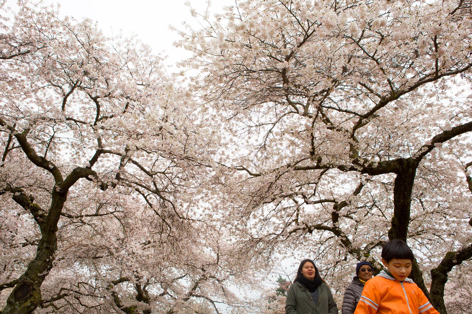 The cherry blossoms are in full bloom at the University of Washington's campus. (Sy Bean / Seattle Refined)