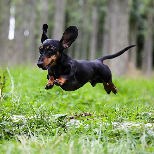 "#8. Dachshund. This week is #NationalDogWeek and with a little help from Rover.com, ""America's Most Popular Dog Breeds of 2019"" was just released. It's the first annual report which ranks the top 20 most popular dog breeds in the country and reveals which breeds are preferred in 40 major cities across the U.S. To learn more,{&nbsp;}<a  href=""https://www.rover.com/blog/americas-most-popular-dog-breeds/"" target=""_blank"">visit Rover's report online</a><a  href=""https://www.rover.com/blog/americas-most-popular-dog-breeds/"" target=""_blank"">.</a>{&nbsp;}(Image courtesy of Rover.com)."
