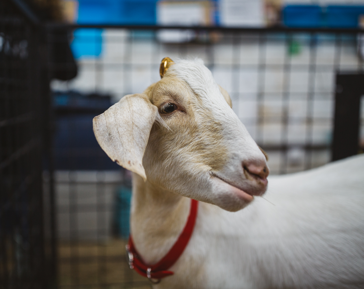 The Washington State Fair boasts an impressive array of farm animals, so we decided to make our way inside to see what cuteness we could find! Bunnies, goats, llamas, cows, and pigs filled the stables, and with a variety of personalities, it is definitely worth your time to meet some of these furry friends. (Image: Ryan McBoyle / Seattle Refined)