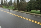Turkeys crossing Bluemound Road in Grand Chute.JPG