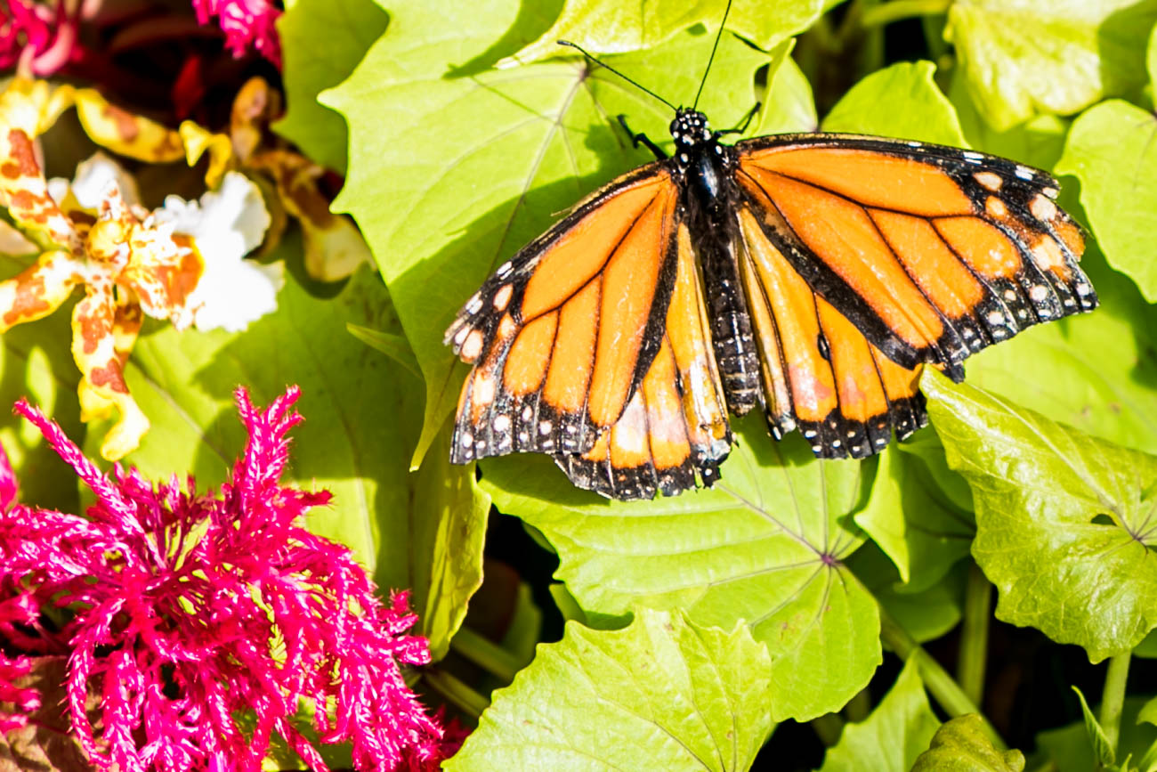 A monarch butterfly{ }/ Image: Amy Elisabeth Spasoff // Published: 4.22.18