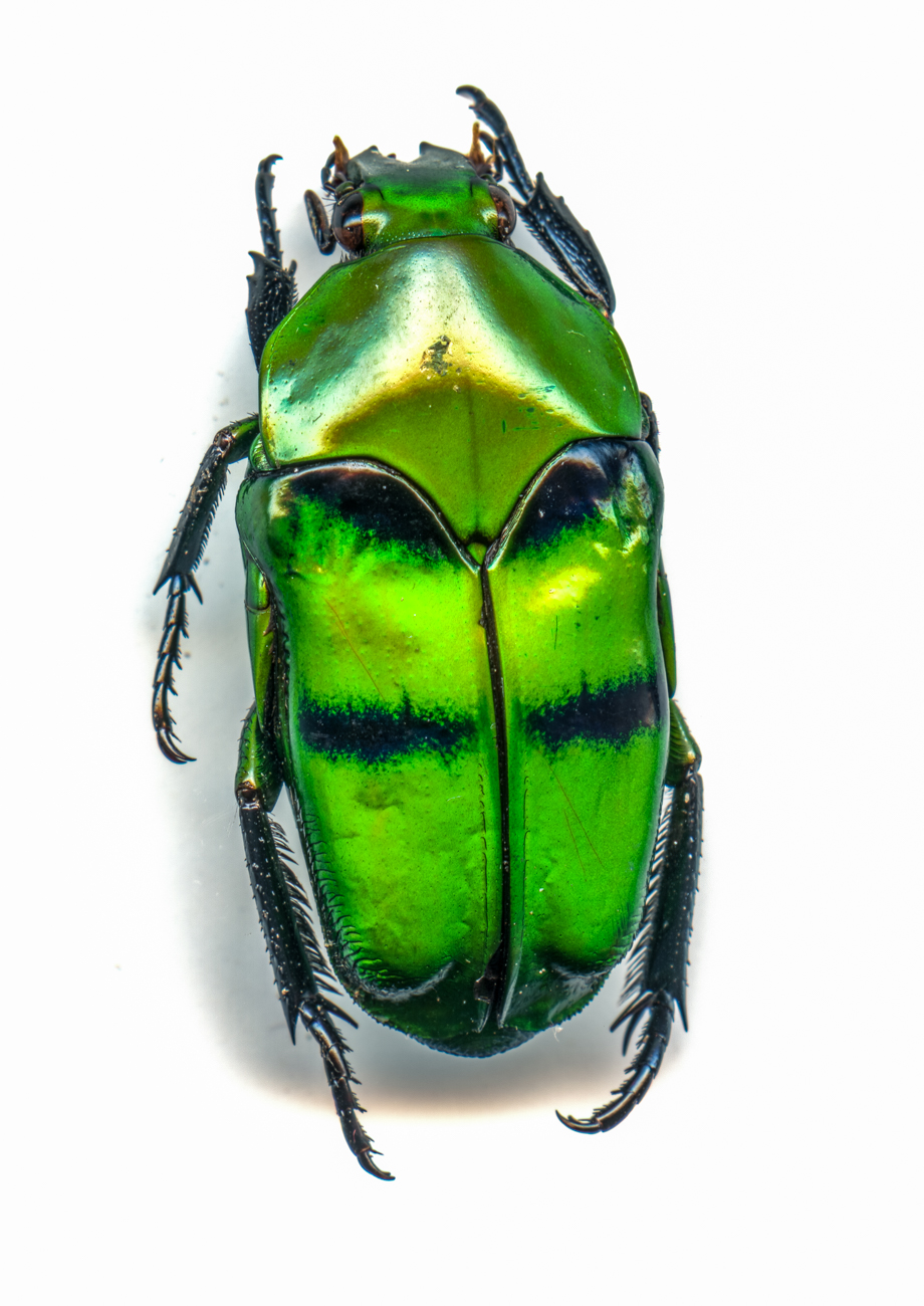 Japanese Beetle{ }/ Image: Catherine Viox // Published: 4.12.20