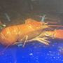 Second orange lobster found at Price Chopper