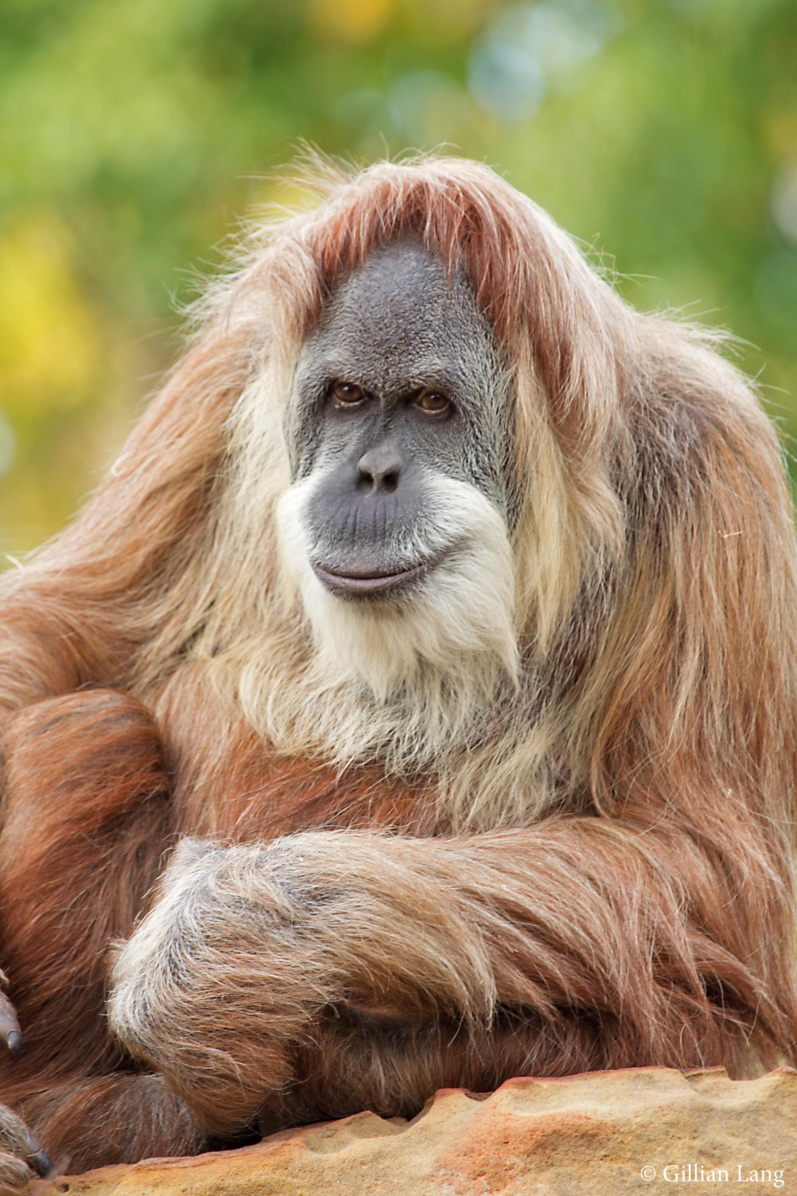 Orangutan 50th Birthday Oklahoma City Zoo oran...