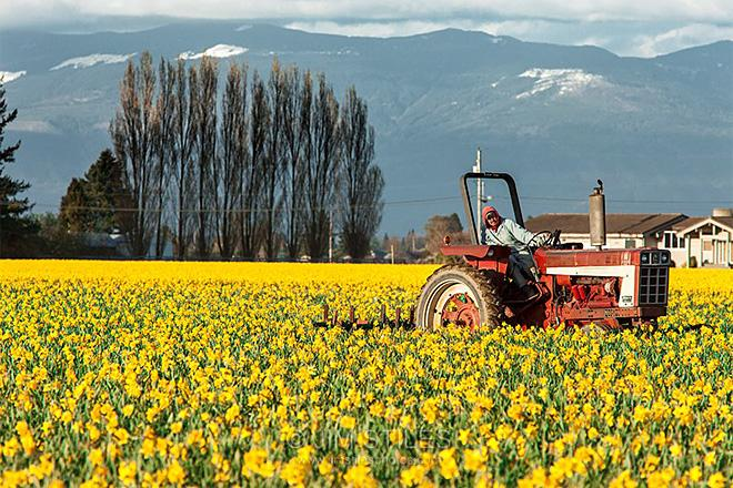 Workin' the Daffodil Fields Skagit Valley, Washington (Photo: Jim Stiles)