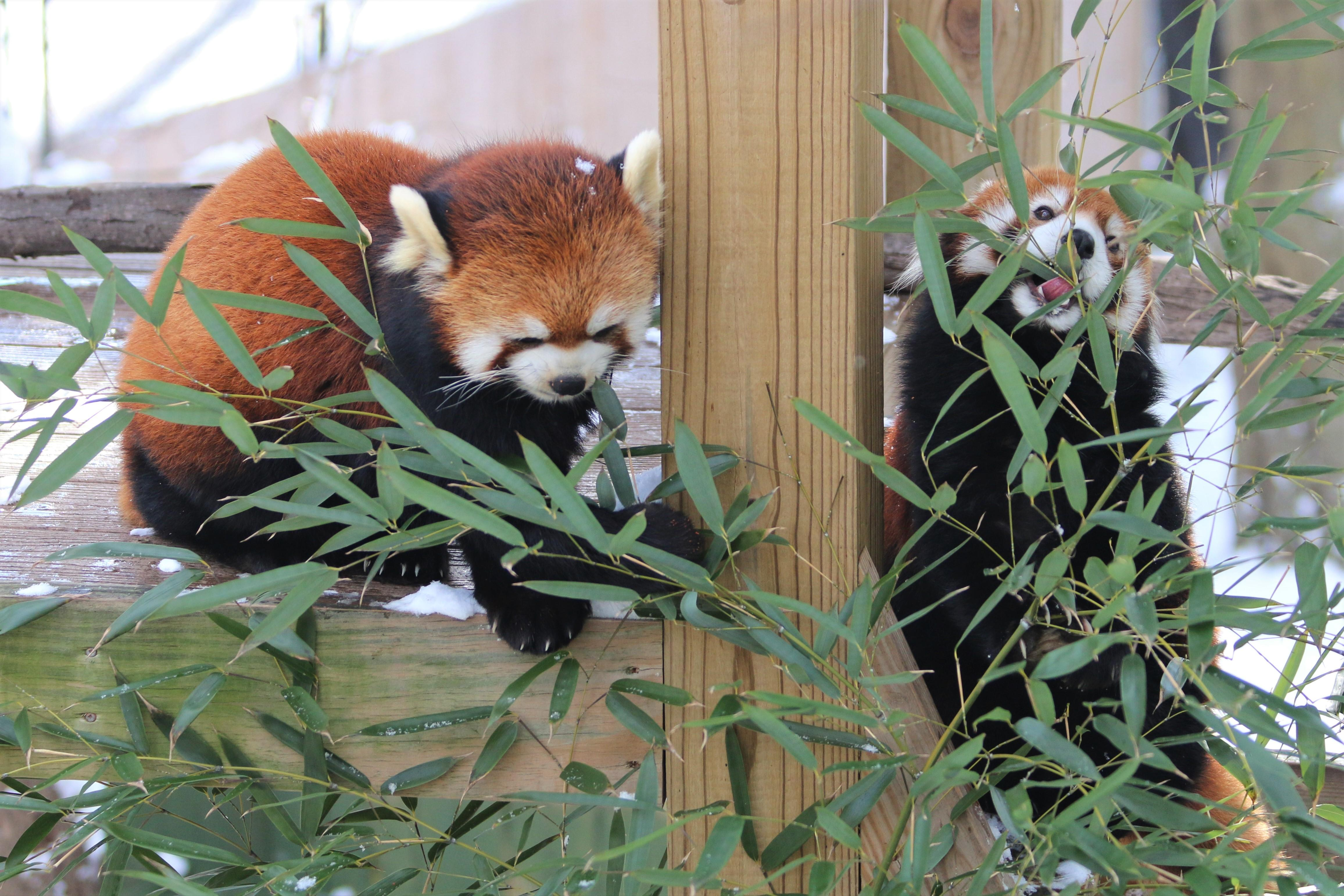The red pandas are among the most popular animals on exhibit at Providence's historic Roger Williams Park Zoo, which offers lots of fun summer events. (Image: Courtesy The Roger Williams Park Zoo)