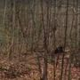 Bear snags big buck from hunter