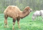 camel and horse2.JPG