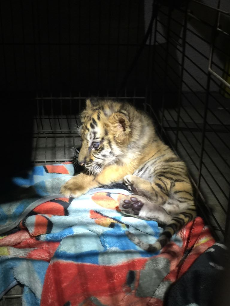Illegally-trafficked endangered tiger cub. (Picture CBP)