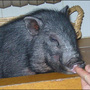 Escaped Papillion pig now recaptured must find new home