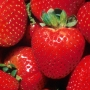 After last freeze, North Carolina harvests more strawberries