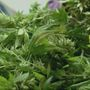 Benton County Commissioners propose new ordinance to curb medical marijuana grows
