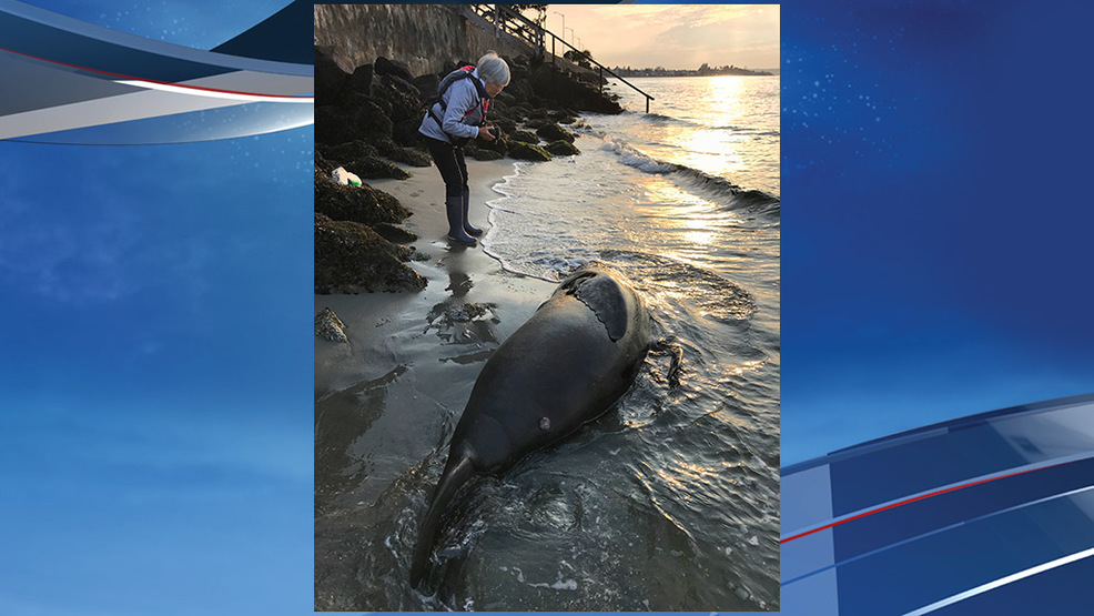 Another sea lion confirmed shot and killed in Puget Sound