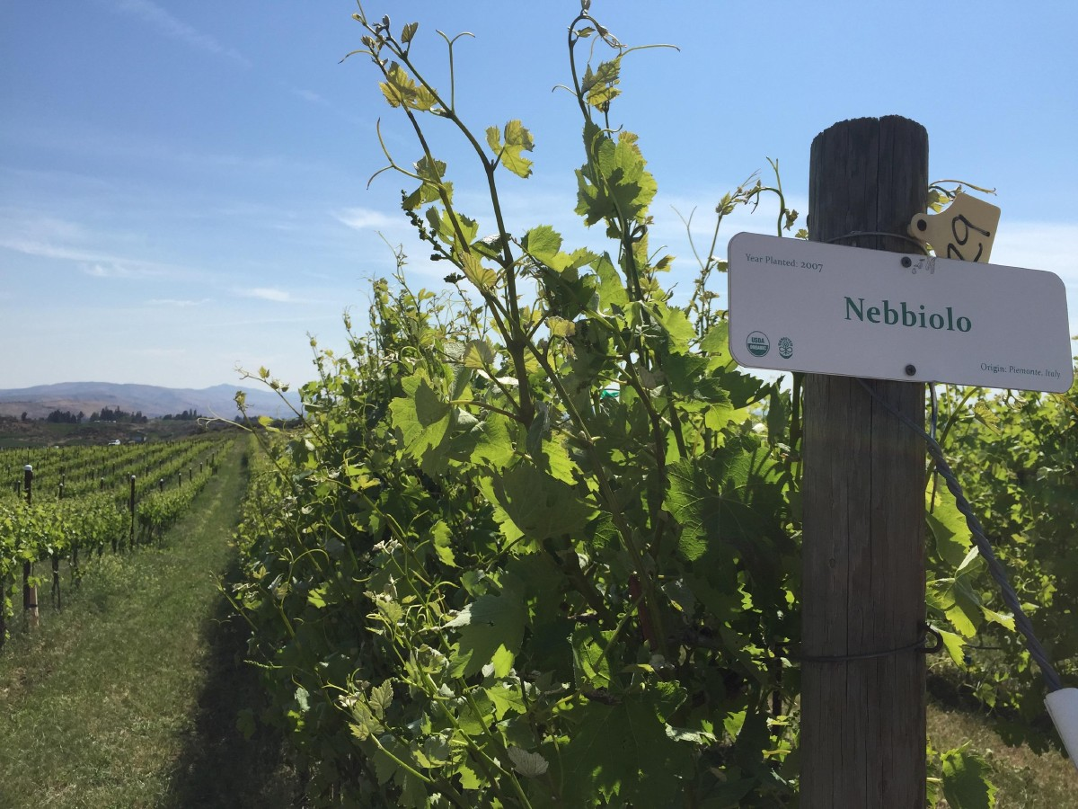 Wilridge Vineyard's Nebbiolo vines. Nebbiolo is an Italian varietal that produces the renowned Barolo and Barbaresco of northeast Italy. (Image: Frank Guanco)