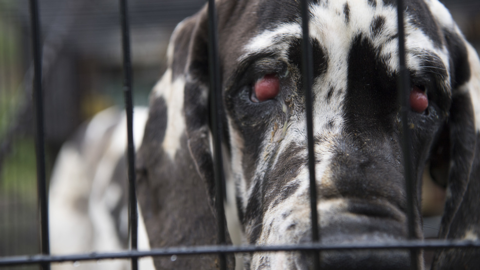 Wolfeboro Police Department Isted By The Humane Society Of United States Rescued 75 Great Danes From A Breeding Center Friday In New Hampshire