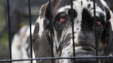 Great Dane puppy mill busted in New Hampshire, 84 dogs rescued
