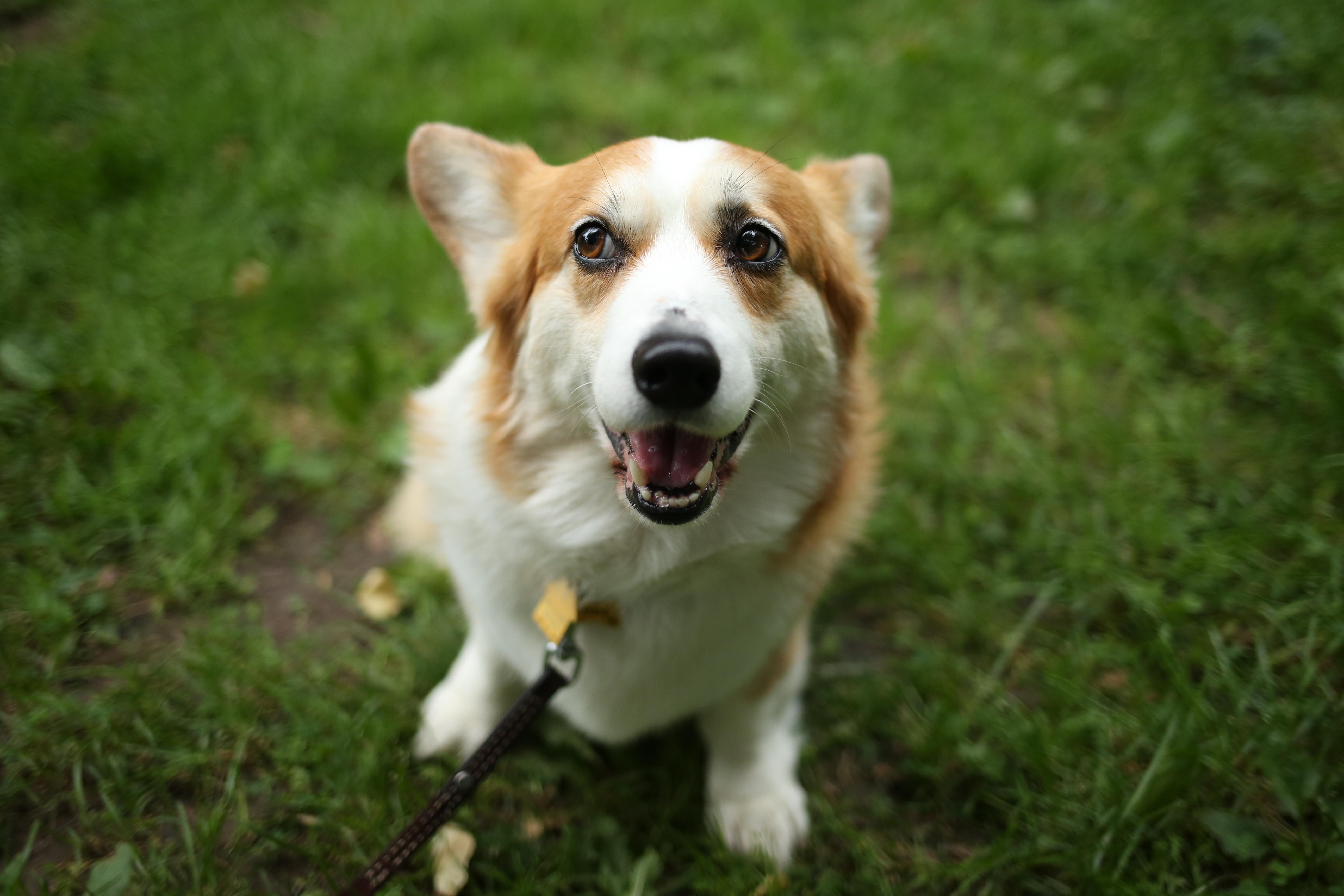 "Meet Abbie, a six-year-old Pembroke Welsh Corgi who we can't help but make ""dear Abby"" jokes about! She was adopted in early May from a woman in Pennsylvania who typically shows and breeds her dogs. So basically, her new family is providing Abbie with a retirement home where she gets lots of love and belly rubs! Seriously, Abbie only cares about two things: being petted and being petted in bed! When she is not actively seeking out belly rubs, she is climbing anything in sight. She often surprises onlookers by athletically leaping into the air to swallow flies despite her stubby legs -- Abbie, girl, you can do anything you put your mind to! Abbie does loathe the hairdryer though. So far, Abbie has been on several adventures to Meridian Hill Park, Kenilworth Aquatic Gardens (she loved chasing snakes and posing by the lily pads), Rock Creek Park and she even helped her humans score some sweet vinyl at Red Onion Records. You can follow all of Abbie's shenanigans on her Instagram account, @downtownabbie. If you or someone you know has a pet you'd like featured, email us at dcrefined@gmail.com or tag #DCRUFFined and your furbaby could be the next spotlighted! (Image: Amanda Andrade-Rhoades/ DC Refined)"
