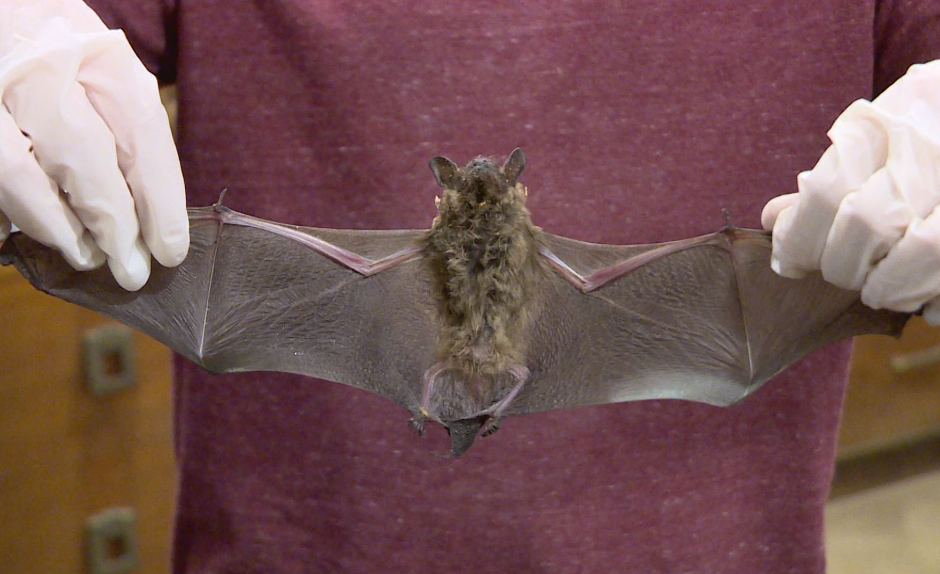 Two rabid bats found in St. Joseph County. // WSBT 22