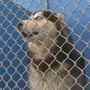 The Husky Factor: Breeders keep making dog doomed to land in shelter