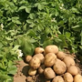 Mexican court forbids imports of U.S. potatoes