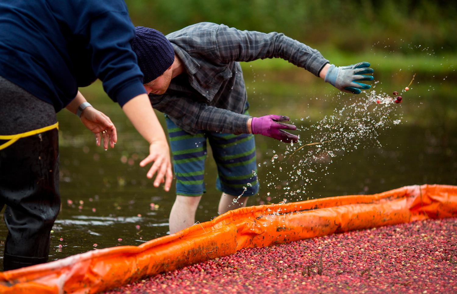 Local volunteer and family friend Jacob Moore throughs cranberries that weren't caught by the floating boom into the harvest pile. (Sy Bean / Seattle Refined)<p></p>