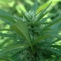 Largest pot bust this year in Siskiyou County