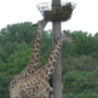 Behind the Exhibit: Tulsa Zoo preparing for baby giraffe