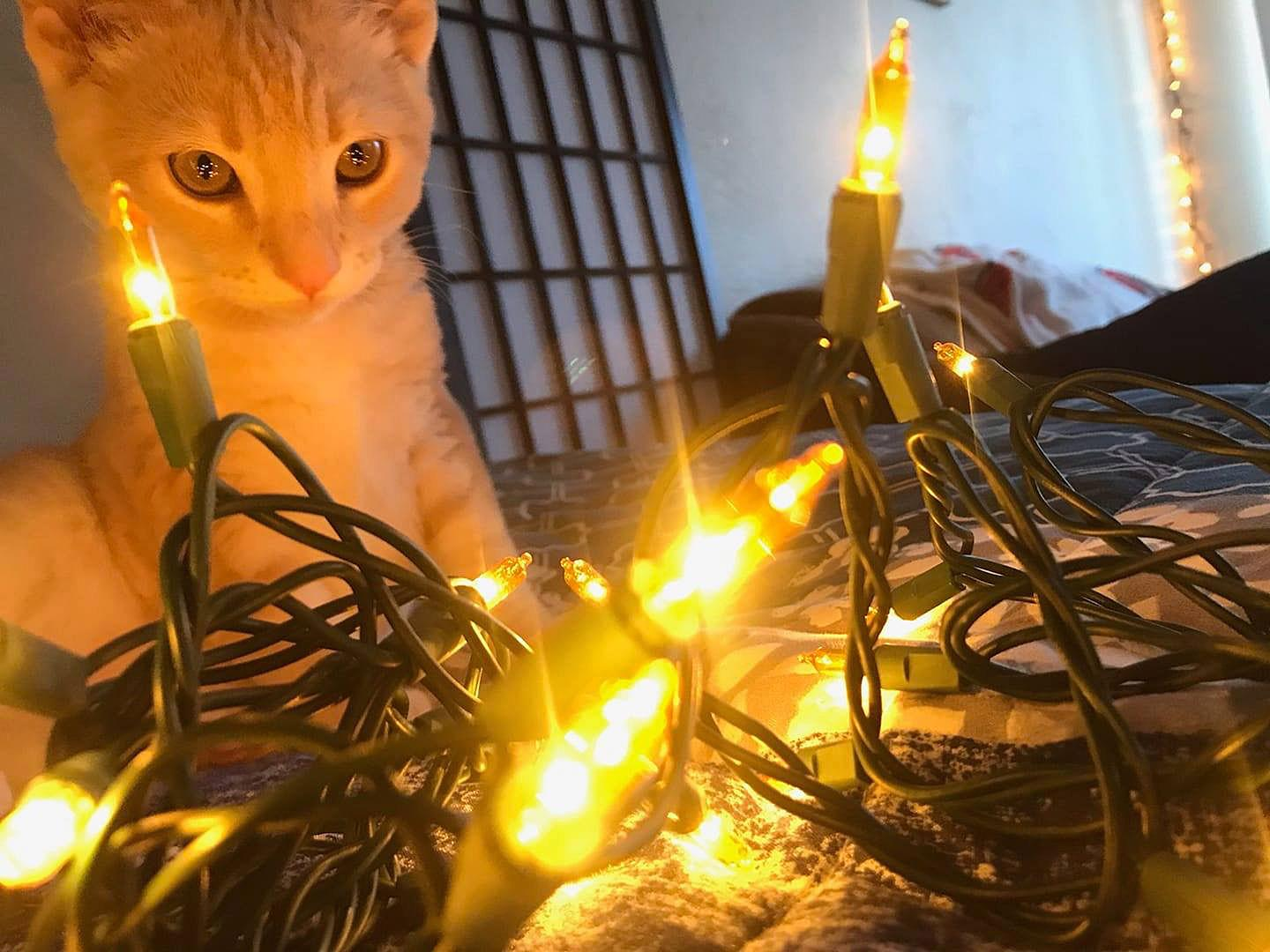 Cassidy Walters of Ashland took this photo of her kitty Casper studying the Christmas lights.