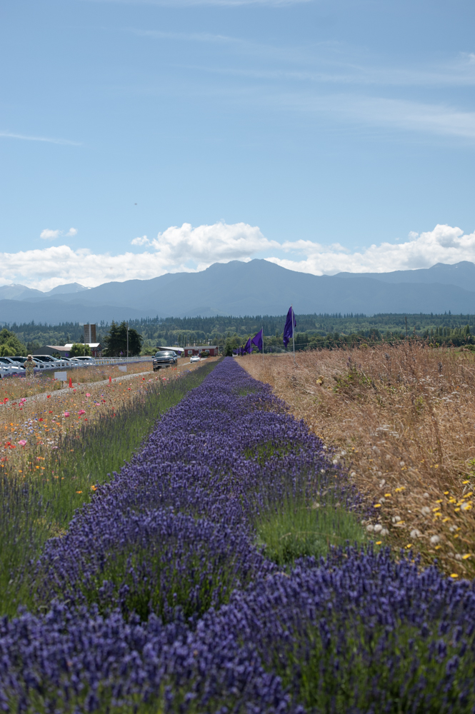 Back for it's 22nd season, the annual Sequim Lavender Festival hosts more than 150 crafts and lavender booth, food court, live music, and lavender-themed everything! A whooping nineteen different farms in and around the Sequim area are open to the public as well. The event runs this weekend: Friday & Saturday 9 a.m. - 7 p.m. and Sunday 9 a.m. to 5 p.m. (Image: Elizabeth Crook / Seattle Refined)