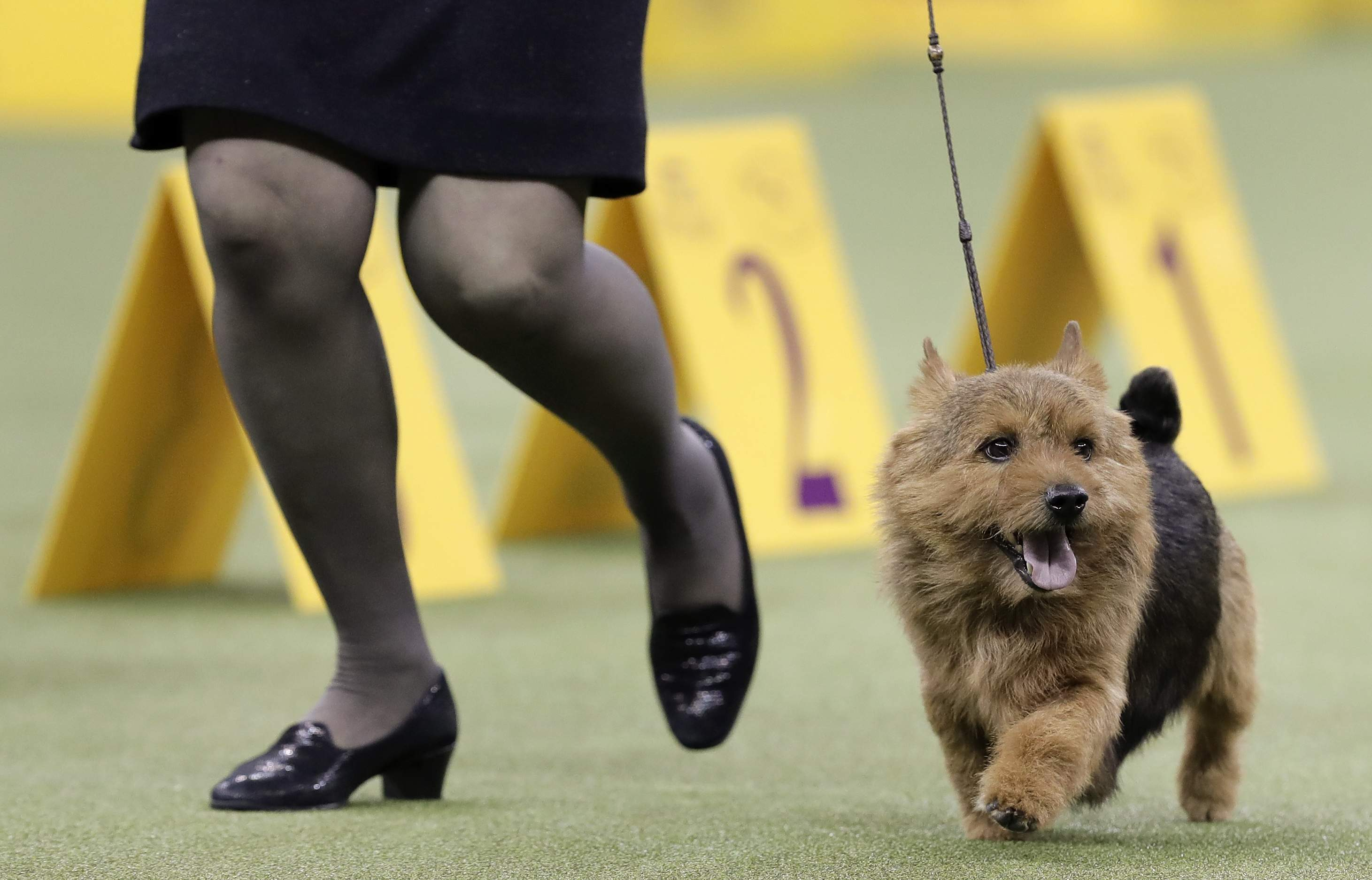 Tanner, a Norwich terrier, jogs through the ring during the terrier group competition at the 141st Westminster Kennel Club Dog Show, Tuesday, Feb. 14, 2017, in New York. THE ASSOCIATED PRESS