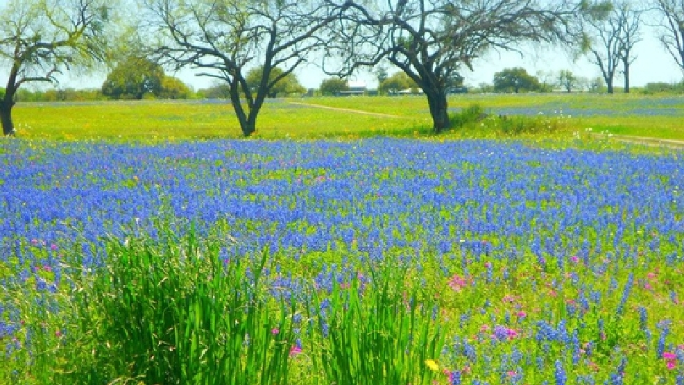 Where to find the best bluebonnet fields