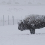More than 1,200 Yellowstone bison killed this winter