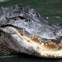 Gator who fatally attacked Florida woman is captured