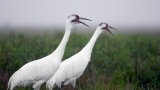 Beaumont teenager sentenced to probation for killing two whooping cranes