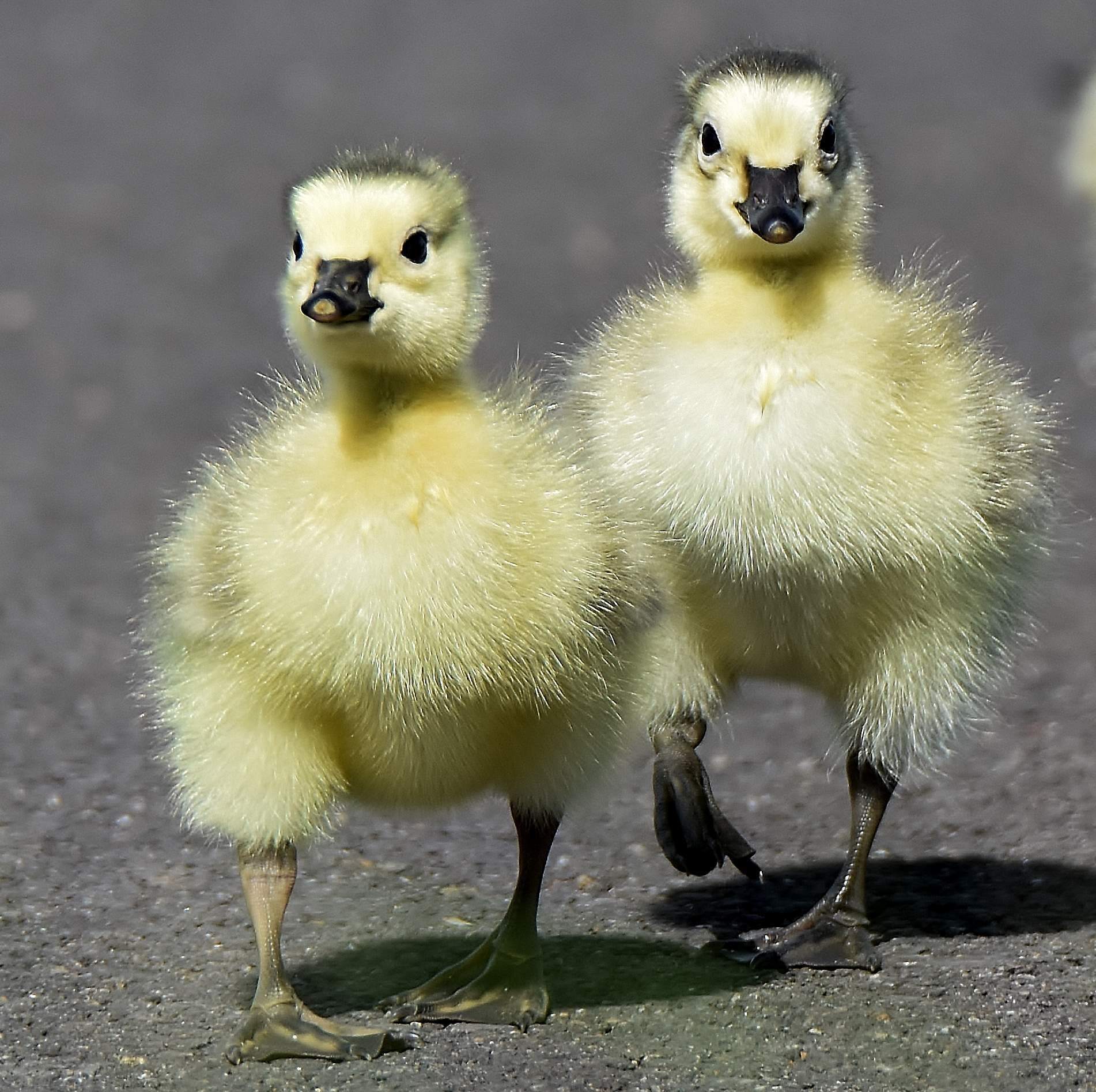 Goslings walking in Central Point - Photo by Randy Young