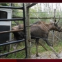 NEW Zoo's moose Finnegan dies unexpectedly