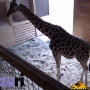 WATCH: Pregnant giraffe's birth streaming live
