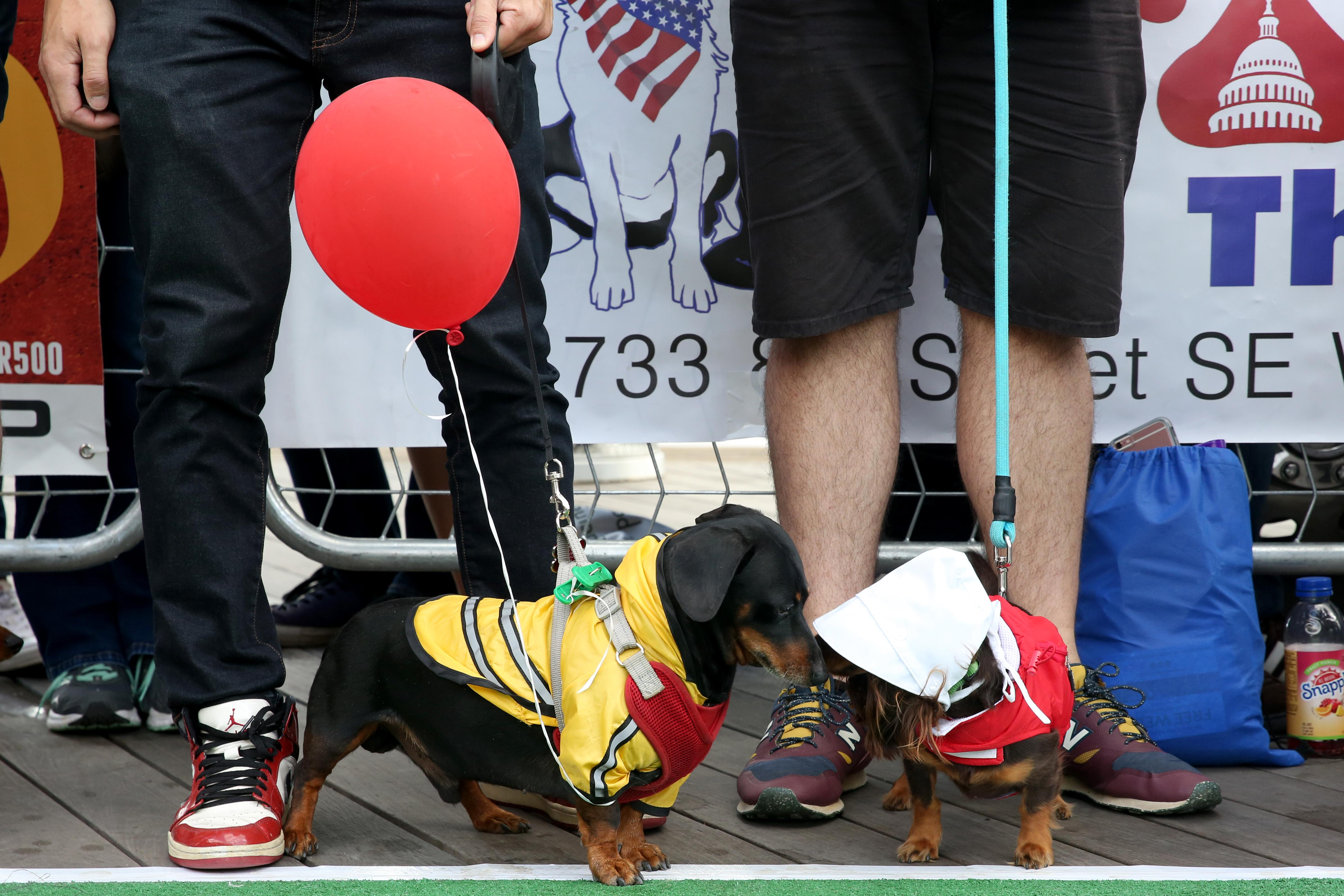 The weenies were flying at the 6th annual Wiener 500. Dozens of dachshunds participated in the races and a costume contest at The Yards Park on Sept. 30, but their humans had the chance to compete for glory during a stein-hoisting contest. (Amanda Andrade-Rhoades/DC Refined)
