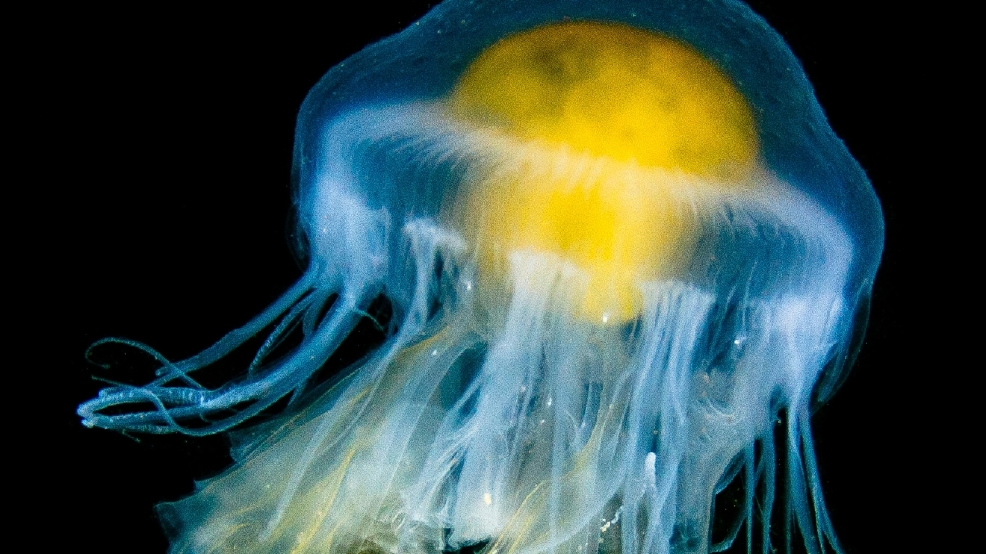 Egg Yolk Jellyfish.jpg