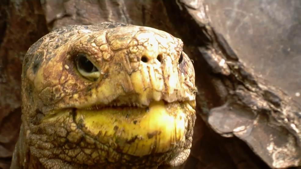 100-year-old tortoise, who had so much sex he saved his species, returning home AP (2).png