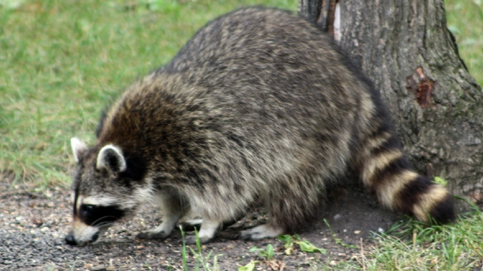 Parents Baby Girl Attacked By Raccoon Inside Apartment Wjac