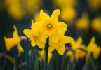 daffodill_bloom_10.jpg