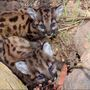 2 new cougar kittens found in Santa Monica Mountains