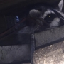 Police help raccoon that had been shot with arrow in Kalamazoo