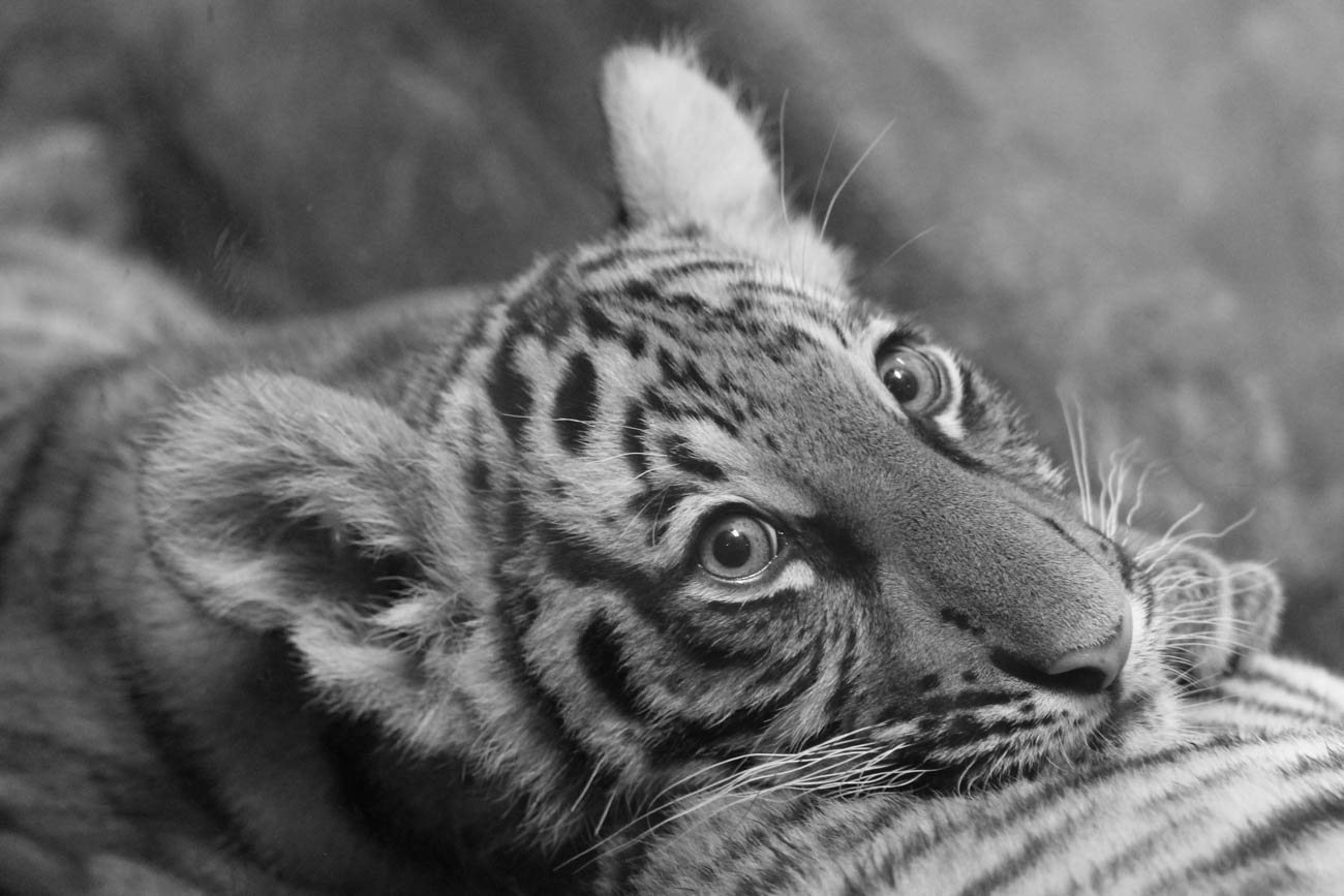 A Malayan tiger zoo baby / Image: Larry Thomas // Published: 1.16.19
