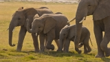 New study finds catastrophic decline in elephant population