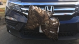 Hawk removed from vehicle grille put down