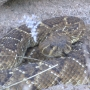 Rattlesnakes out early thanks to warm winter