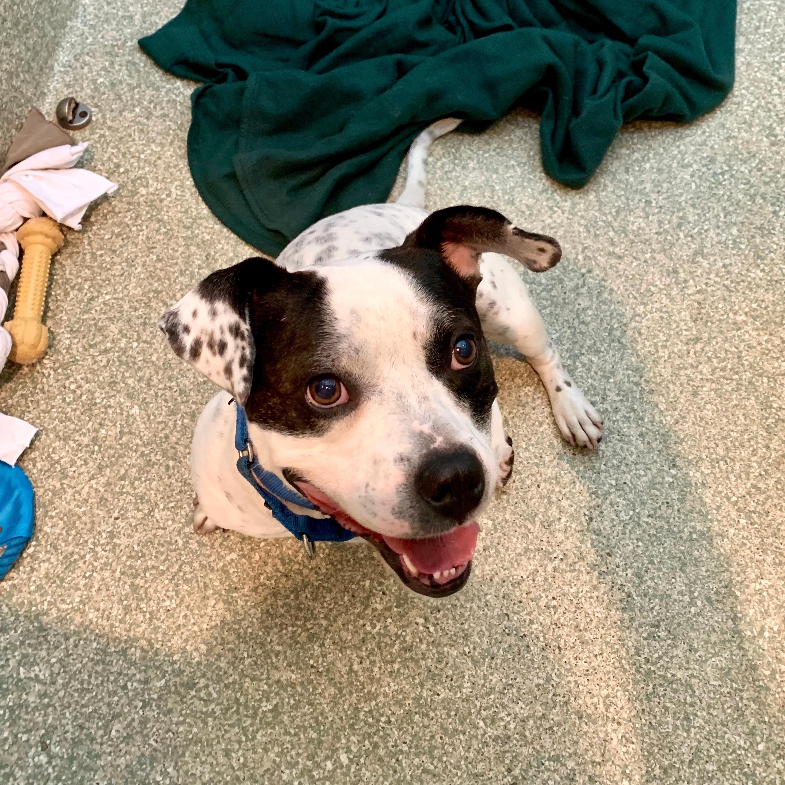 If Dunkin sounds like the right pooch to add to your team's roster, meet him at HRA's Oglethorpe Street adoption center.{ } (Image: Courtesy HRA)