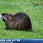 More nutria rodents sighted in the Central Valley